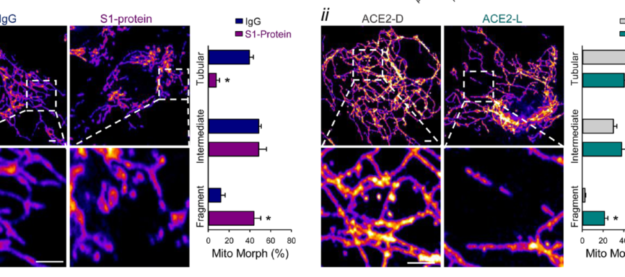 Mitochondrial fragmentation